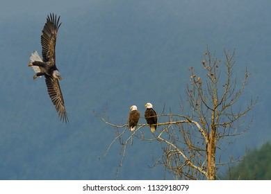 A pair of Bald Eagles (Haliaeetus leucocephalus) are sitting on a tree branch while a juvenile Bald Eagle flying around them and approaching from the sideway with wings spread wide.