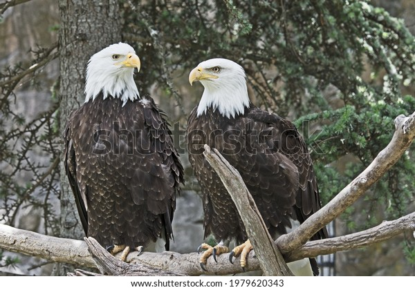 A pair of Bald Eagles, (Haliaeetus leucocephalus) are perched on a branch