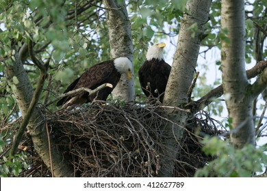 pair of bald eagles in nest