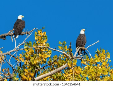 A pair of Bald Eagles sitting in differing positions atop a large Cottonwood tree, amid changing yellow leaves and a beautiful blue sky in the Fall Season.