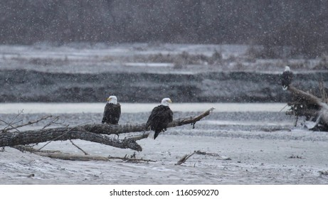 A pair of Bald eagles sitting on a dead  tree  branch that is resting over the snow covered riverbed, near Haines, Alaska on a snowy winter day.