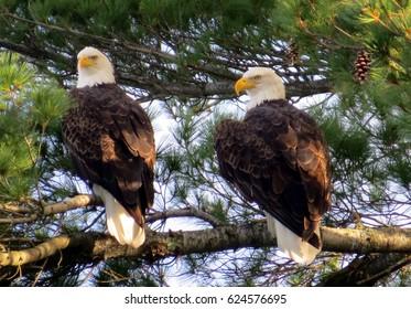 Pair of Bald Eagles in Tree Near Nest, Nevis Minnesota