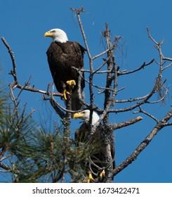 Pair of Bald Eagles at Wildlife Park
