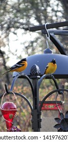 Pair of Baltimore Oriole birds waiting their turn to feed on the grape jelly and oranges.