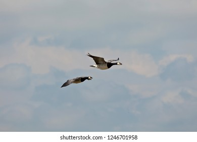 pair of barnacle geese on the way to the sleeping place