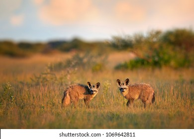 Pair of Bat-eared fox, Otocyon megalotis, small african carnivore in its typical environment, arid savanna in dusk, staring directly at camera. African wildlife photography, Nxai Pan, Botswana.