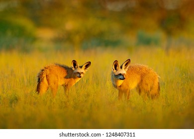 Pair Bat-eared fox, Otocyon megalotis, wild dog from Africa. Rare wild animal, evening light in grass. Wildlife scene, Okavango delta, Botswana. Two fox with big long ears. Animal behaviour in Africa.