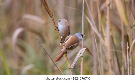 The pair of bearded reedling (Panurus biarmicus) on a straw. The bearded reedling is a small, sexually dimorphic reed-bed passerine bird.