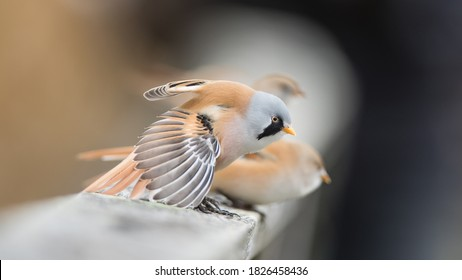 The pair of bearded reedling (Panurus biarmicus) on the parapet. The male bearded reedling is stretching his wings with a nice defocussed background.