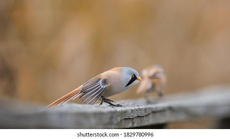 The pair of bearded reedling (Panurus biarmicus) on the wooden handrail. The male bearded reedling is stretching his wings with a nice defocussed background.