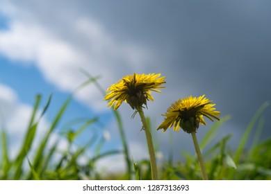 pair of beautiful blooming dandelion flowers in the field