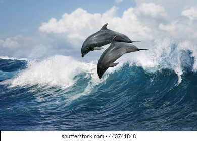 A pair of beautiful dolphins jumping over breaking waves. Hawaii Pacific Ocean wildlife scenery. Marine animals in natural habitat.