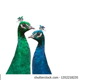 A pair of beautiful peacocks on a white background. The concept of the seasons. The green peacock symbolizes summer, and the blue symbolizes winter.