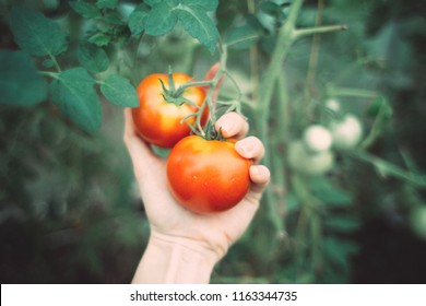 a pair of beautiful red tomatoes on a branch in a greenhouse and a female hand. autumn harvesting. vegetarianism and nutrition