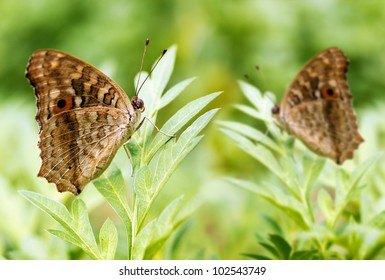 A pair of beautiful spotted butterflies relax on a plant