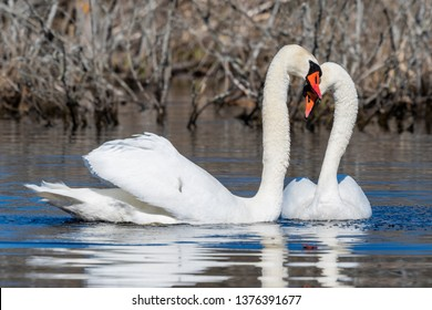 A pair of beautiful swans on the pond.