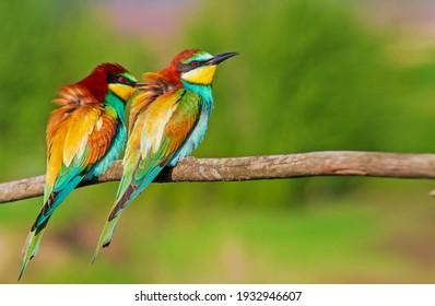 pair of beautiful wild birds bee-eaters