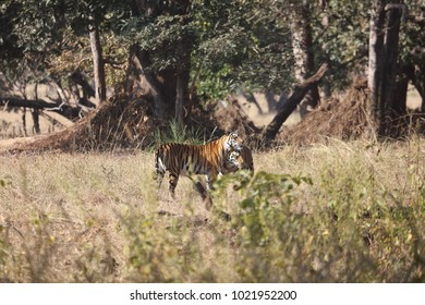 A pair of Bengal Tigers, family members, walking at the edge of the forest in Kanha National park, Madhya Pradesh, India