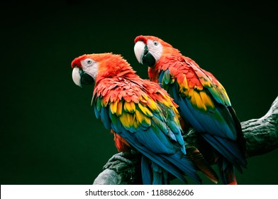 Pair of big parrot Red Macaw sitting on the branch. Ara chloroptera on green background. Wildlife and rainforest exotic tropical birds.