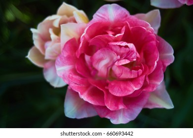 Pair of big pink flower blossoms