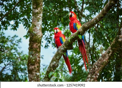 Pair of big Scarlet Macaws, Ara macao, two birds sitting on the branch. Pair of macaw parrots in Costa Rica. Love scene from fain forest.