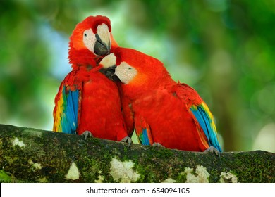 Pair of big Scarlet Macaws, Ara macao, two birds sitting on the branch, Costa rica. Wildlife love scene from tropical forest. Two beautiful parrots on tree branch in nature habitat.