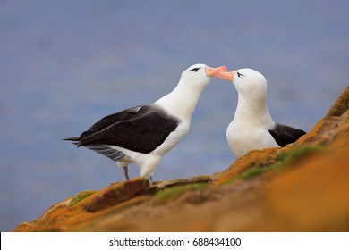 Pair of birds Black-browed albatross. Beautiful sea birds sitting on the cliff, with dark blue water in the background, Falkland Island. Albatross courtship and love.