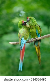 Pair of birds green parrots Military Macaw,  Ara militaris from Costa Rica.