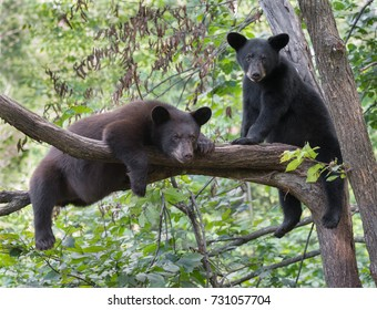 A pair of black bear cubs resting in a tree.