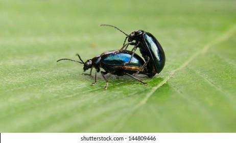 Pair of black beetles engaged in a mating behavior