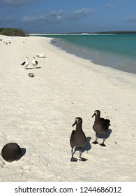 A pair of black footed albatross and a pair of Laysan albatross hang out on a beach at Eastern Island, Midway Atoll, Papahanaumokuakea Marine National Monument, Hawaii.