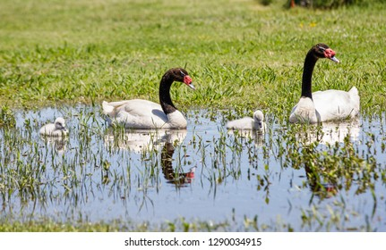 A pair of Black Neck Swans, with their cygnets, swimming on a lake with a green grass as background, and with their reflection on the water.