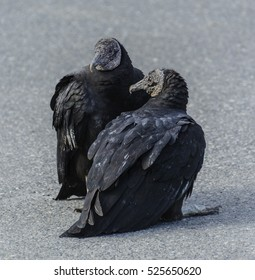 A pair of Black Vultures (Coragyps atratus) sitting in the sun on a black-top surface
