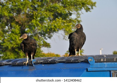 A pair of black vultures or turkey vultures perched atop a blue dumpster on a sunny summer day. The raptors peer off in the distance in search of food.