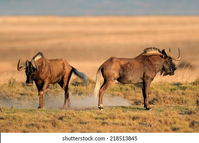 A pair of black wildebeest (Connochaetes gnou), South Africa