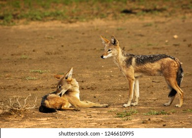 The pair of black-backed jackal (Canis mesomelas) have a rest close to the waterhole in Kalahari desert. The black-backed jackal (Canis mesomelas) in evening sun.