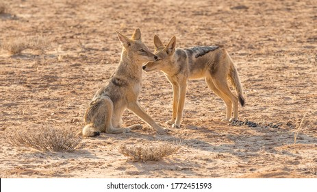 A pair of Black-Backed Jackal in the Kgalagadi Transfrontier Park, situated in the Kalahari Desert in Southern Africa.