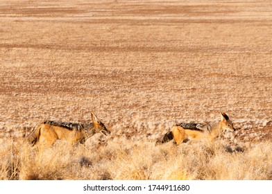 Pair of Black-backed jackals in the Namib Desert