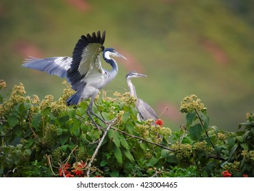 Pair of Black-headed Heron, Ardea melanocephala on nest in treetop against blurred steep tea field in background. Uganda.