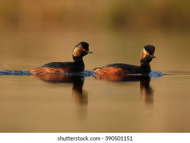 Pair of Black-necked Grebe, Podiceps nigricollis,  in colorful breeding plumage on calm lake against orange and green background, photo taken from water level with floating hide. Spring, Europe.