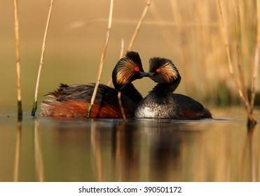 Pair of Black-necked Grebe, Podiceps nigricollis, in colorful breeding plumage on calm lake  with their heads against each other, manifesting affection, photo taken  with floating hide.