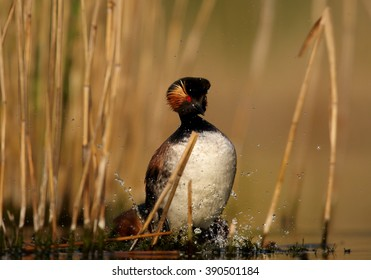 Pair of Black-necked Grebe, Podiceps nigricollis, showing their typical pose during mating on nest in reeds. Colorful breeding plumage, photo taken from water level with floating hide. Spring,Europe.
