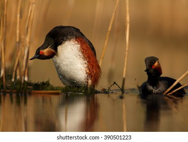 Pair of Black-necked Grebe, Podiceps nigricollis, showing their typical pose after mating on nest in reeds. Colorful breeding plumage, photo taken from water level with floating hide. Spring,Europe.