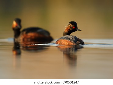 Pair of Black-necked Grebe, Podiceps nigricollis,  in colorful breeding plumage on calm lake against orange and green background, photo taken from water surface with floating hide. Spring, Europe.