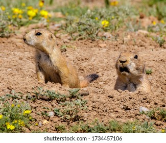 Pair of Black-tailed Prarie Dogs in southwestern Oklahoma
