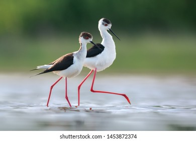 Pair of black-winged stilt, common stilt, or pied stilt (Himantopus himantopus). Photo was taken in Ukraine.
