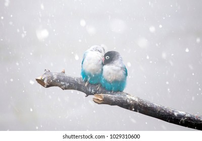 Pair of blue lovebird parrots in falling snow. Climate changing concept.