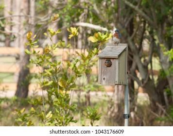 A pair of Bluebirds inspecting a nesting box.