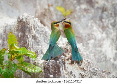 Pair of Blue-tailed bee-eater (Merops philippinus) perching together on limestone hill with bee and dragonfly, Phuket, Thailand. Pair of Blue-tailed bee-eater with prey