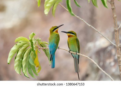 Pair of Blue-tailed bee-eater (Merops philippinus) perching together on tree branch , Phuket, Thailand. Pair of Blue-tailed bee-eater resting on branch